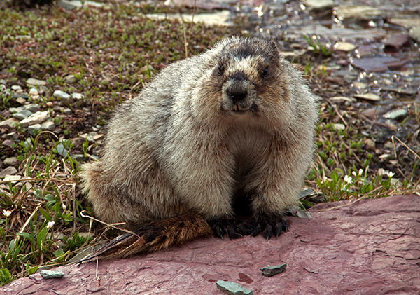 A marmot joined me on the boardwalk at Logan Pass. ©Candice Gaukel Andrews
