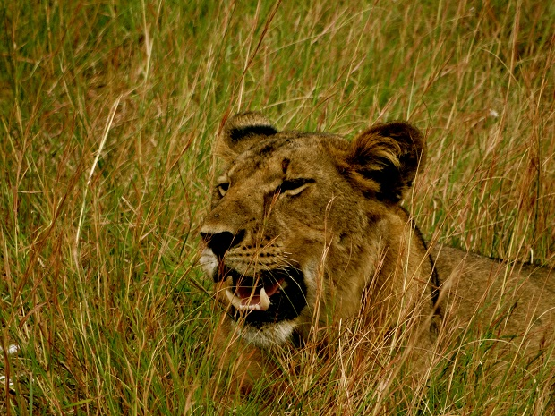 lion, Queen Elizabeth National Park, Uganda