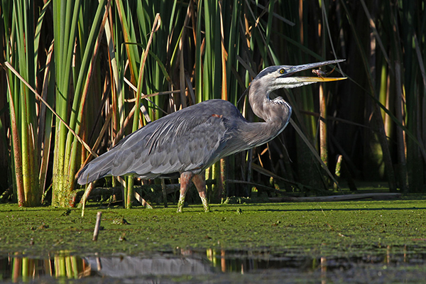 Because of their colors and majestic size, great blue herons are one of my favorite birds to spot while canoeing in Wisconsin. ©John T. Andrews