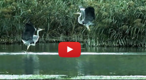 Video: Great Blue Heron Brawl