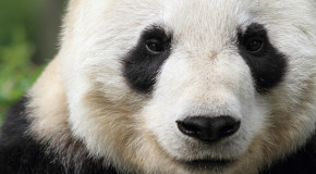 Five Recent Gains for Endangered Wildlife Species