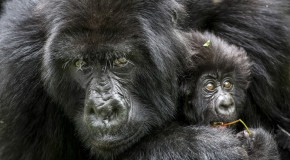 Wildlife Photo of the Week: Mountain Gorillas