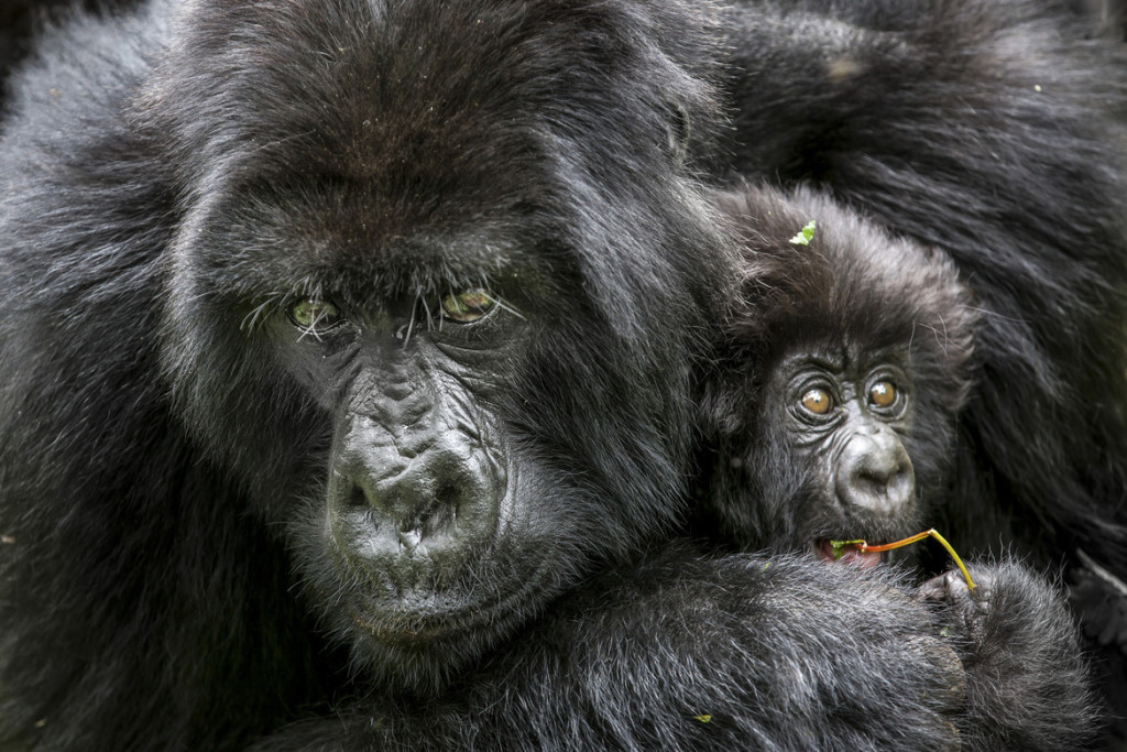 Mountain Gorilla, mountain gorilla photos, gorillas in Rwanda, african safari, african primates, rwanda wildlife, rwanda wildlife photos, mountain gorilla baby, mountain gorilla mother, Virunga Mountains, Virunga Mountains wildlife