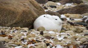 Wildlife Photo of the Week: Arctic Hare in Churchill