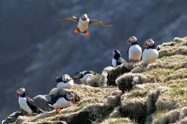 Birders claim Scotland is a paradise for their hobby. Puffins, such as these, can be found on islands and sea cliffs, such as East Lothian, the Inner and Outer Hebrides, Fife, Shetland and Orkney. ©Candice Gaukel Andrews