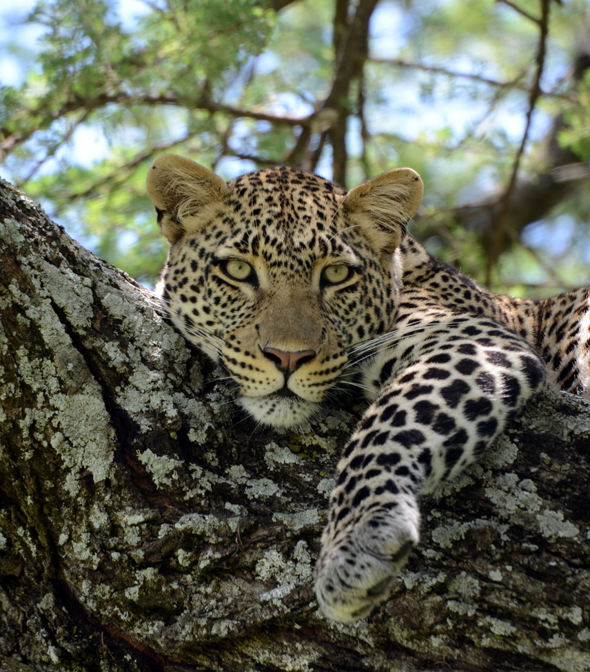"""Leopard on a Lazy African Afternoon"" by Karin Leperi"