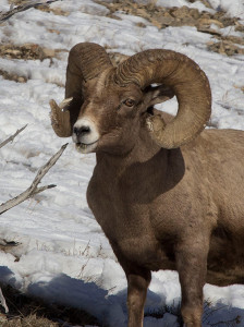 The dangers of feeding wild animals were exemplified by the story of one bighorn sheep. ©Candice L. Andrews