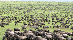 Declining Wildebeests: Why Conserve Nonthreatened Species?