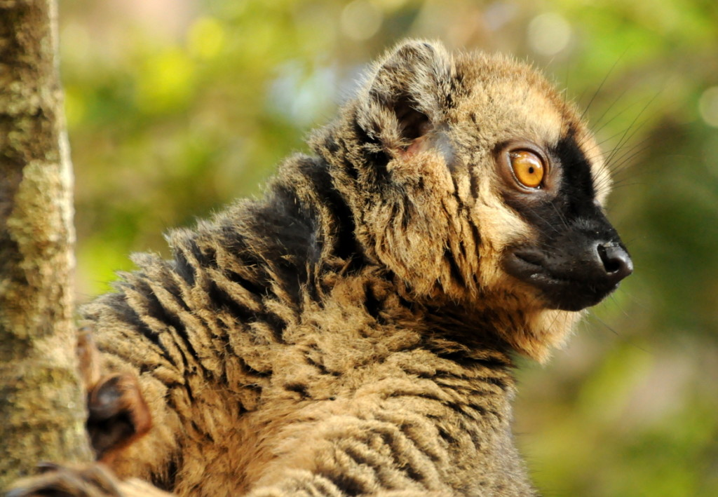 """Bright-Eyed Lemur"" by Caroline Gilmore"