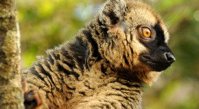 Wildlife Photo of the Week: Lemur of Madagascar