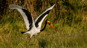 Wildlife Photo of the Week: Saddle-billed Stork