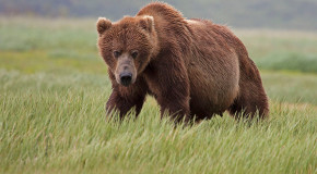 The Coastal Grizzlies of Katmai: An Alaska Photo Journal