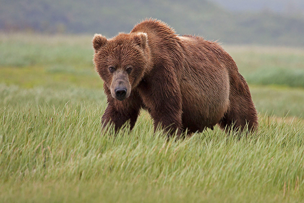 In Kodiak, Alaska, there's a meadow with lots of bears. ©Candice Gaukel Andrews