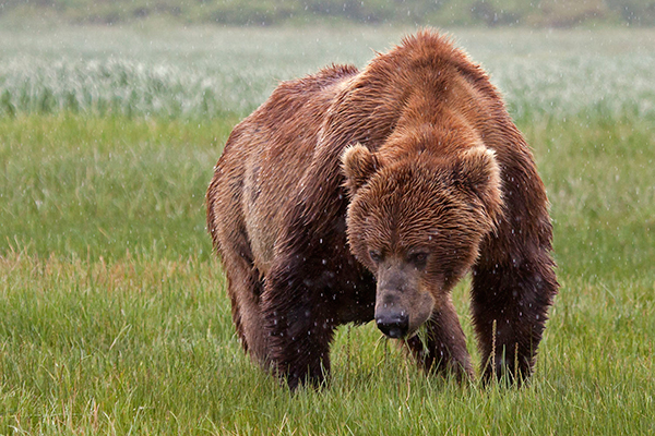 According to the Alaska Department of Fish and Game, Kodiak bears are the largest bears in the world. ©Candice Gaukel Andrews