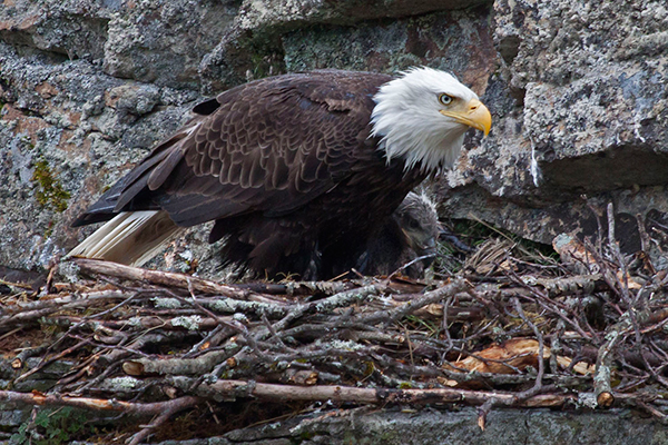 If you look closely, you'll spot a chick behind this bald eagle, which nicely blends in with the rocks in the background. ©Candice Gaukel Andrews