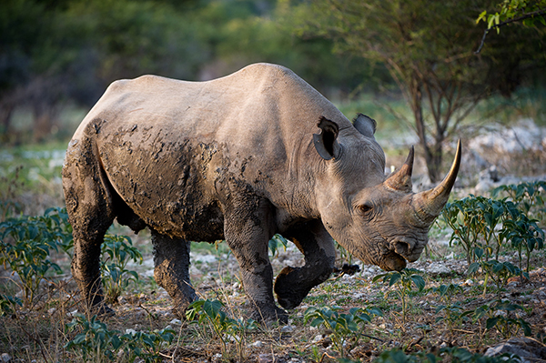 Black rhinos boast two horns, with the foremost being the more prominent one. Females use their horns to protect their young, while males use them to battle attackers. ©Wilderness Safaris