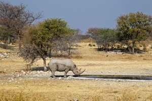 Will synthetic horns save the world's last remaining rhinos? ©Caroline Culbert