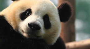 The Giant Panda: 6 Incredible Facts about the World's Cutest Creature