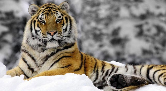 Image credit: liveanimalist.com, http://www.liveanimalslist.com/interesting-animals/siberian-tiger-vs-bengal-tiger.php