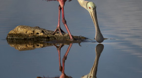 Wildlife Photo of the Week: Roseate Spoonbill