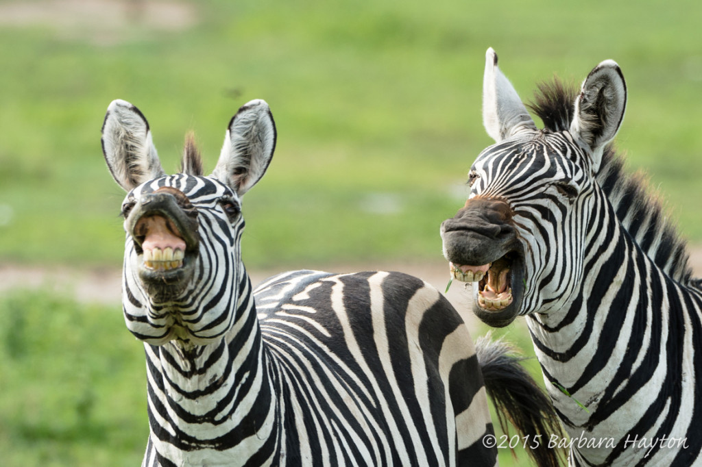 """Laughing Zebras"" (c) Barbara Hayton"