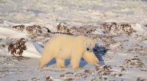 Wildlife Photo of the Week: Polar Bear Strolling