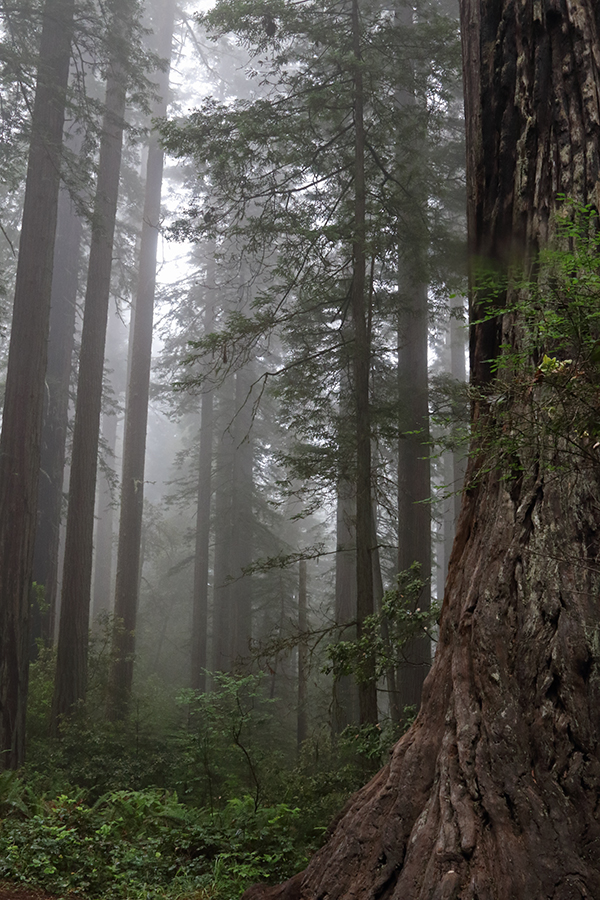 Because the Lady Bird Johnson Grove rests near the top of a ridge that is 1,000 feet above sea level, elevation brings moist conditions and extra rain. That causes the redwoods here to look less red than those found elsewhere on the coast. ©Candice Gaukel Andrews