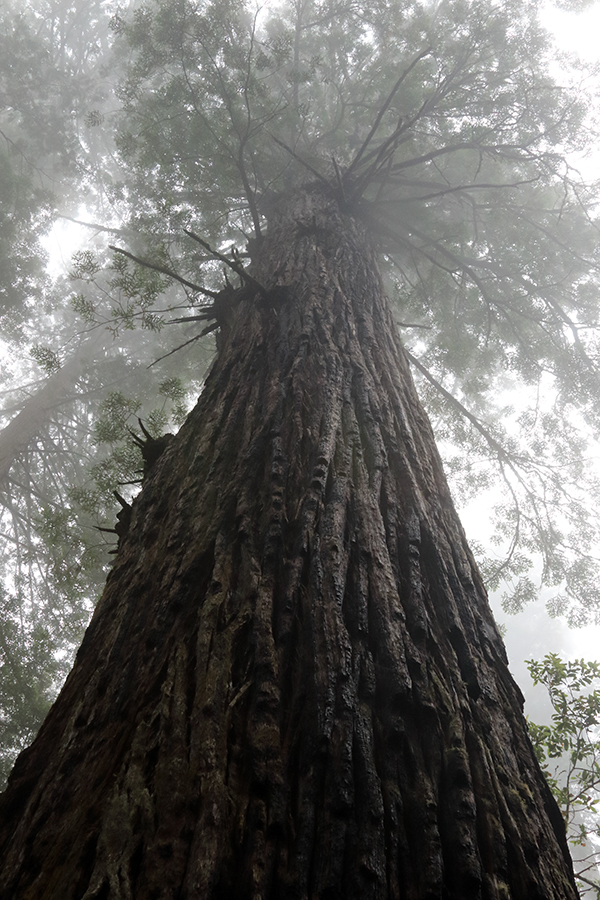 Coastal redwoods are some of the tallest trees in the world. ©Candice Gaukel Andrews