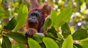 Traveler Videos: The Wilds of Borneo