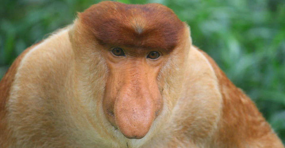 Proboscis Monkey, Image credit: Natural Habitat Adventures