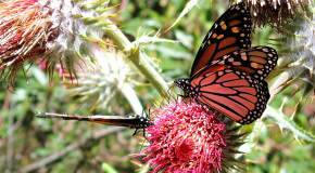 On a Wing and a Prayer: 5 Fascinating Facts about the Monarch Butterfly