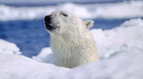 See—and Save—the World's Most Endangered Species Part 4: Polar Bears