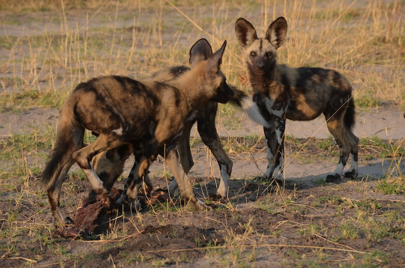 African wild dogs eating, African painted wolves, Botswana, Linyanti