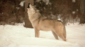 8 Incredible Wolf Facts Everyone Should Know