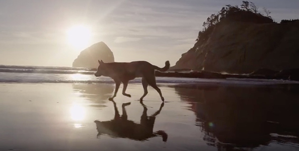 "Denali walks on a beach during his last road trip. ©From the video ""‪Denali,‬"" Moon‬‬house, 2015"