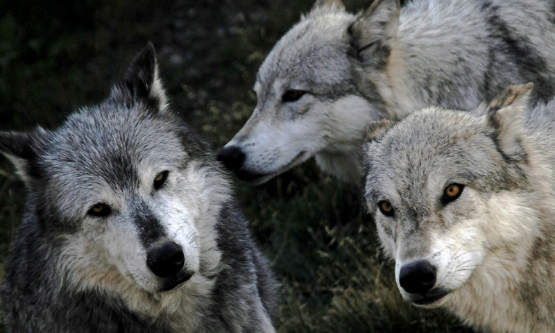 """The Pack"" by Karen Crewe. Photo from Wildlife Photo of the Day."