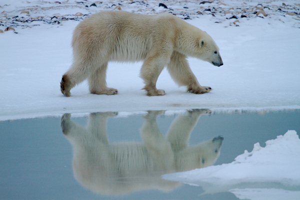 Polar bears are the poster children for the snow and ice world of the North. ©Henry H. Holdsworth