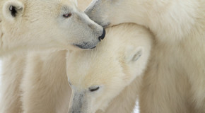 Polar Bears — Fun Facts for Kids!
