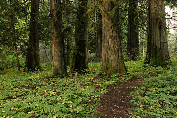 Fungal networks may be critical in helping forests deal with climate change. These biological webs conserve genetic resources for future tree migrations, ensure that forest carbon stocks remain intact and safeguard species diversity. ©Eric Rock