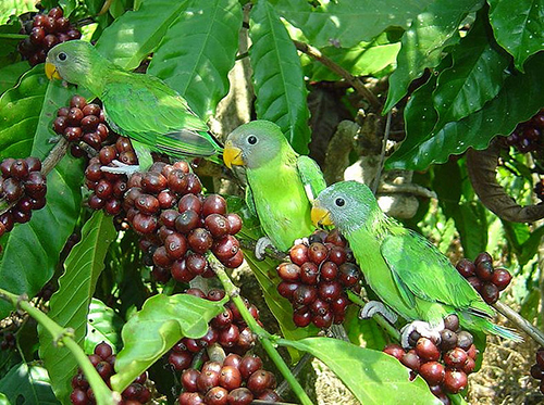 Shade-grown coffee plantations provide habitat for birds and require less fertilizer and pesticides. ©Michael Allen Smith, flickr