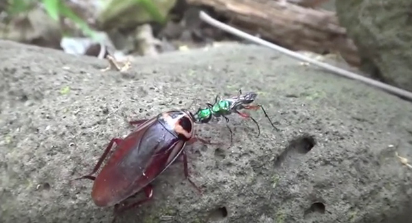 "No will to run: an emerald jewel wasp turns a cockroach into a zombie midwife. ©From the video ""Attack of the Zombie Parasites!,"" PBS Digital Studios"