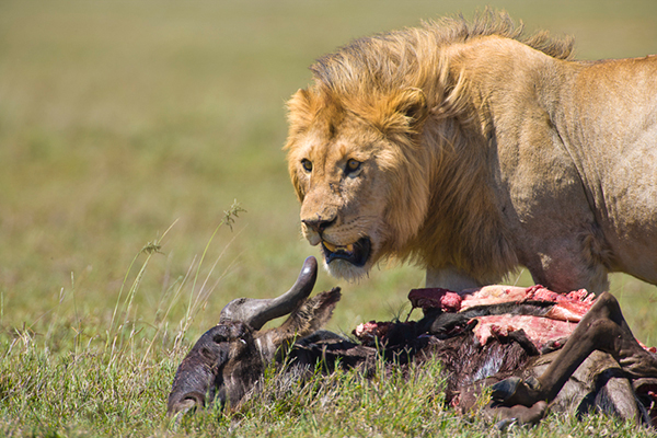 When a top predator such as a lion is lucky enough to take down a single animal, it is almost always one that is weak, young or very old. ©Patrick J. Endres