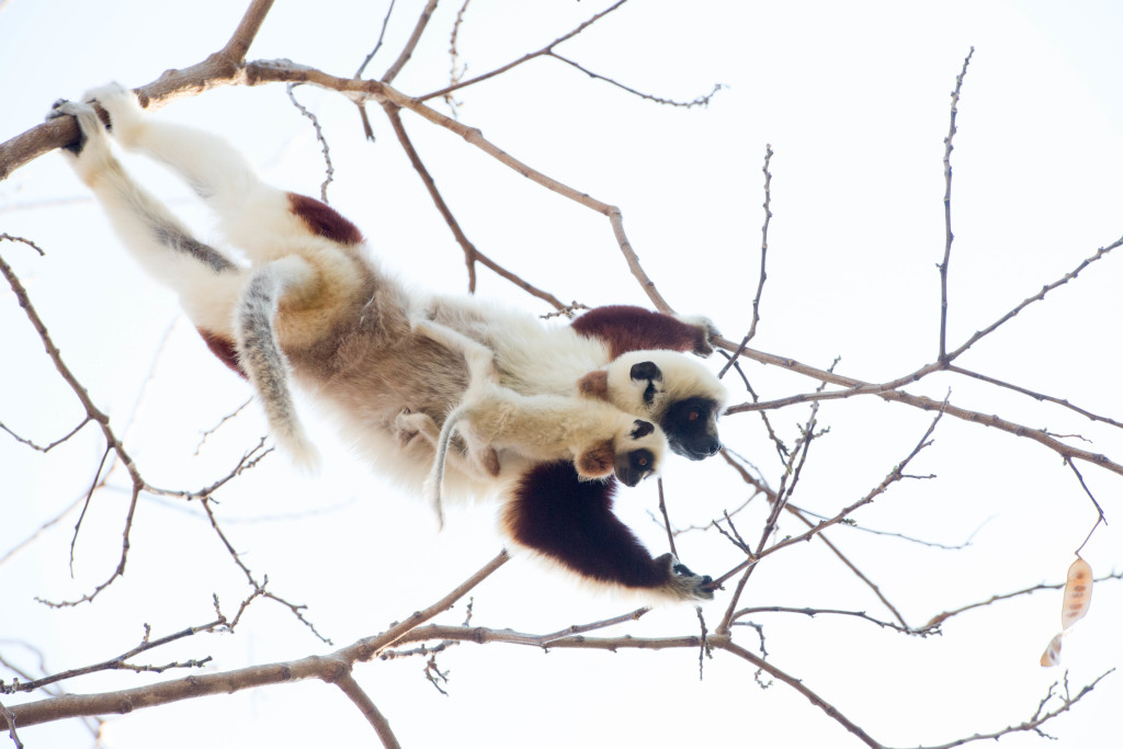 A Coquerel's sifaka mother teaches its infants to forage in the canopy. © WWF-US/Rachel Kramer