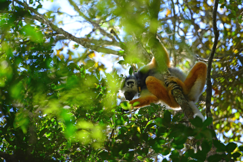 This radio-collared diademed sifaka is part of a research group in Andasibe National Park. © WWF-US/Rachel Kramer