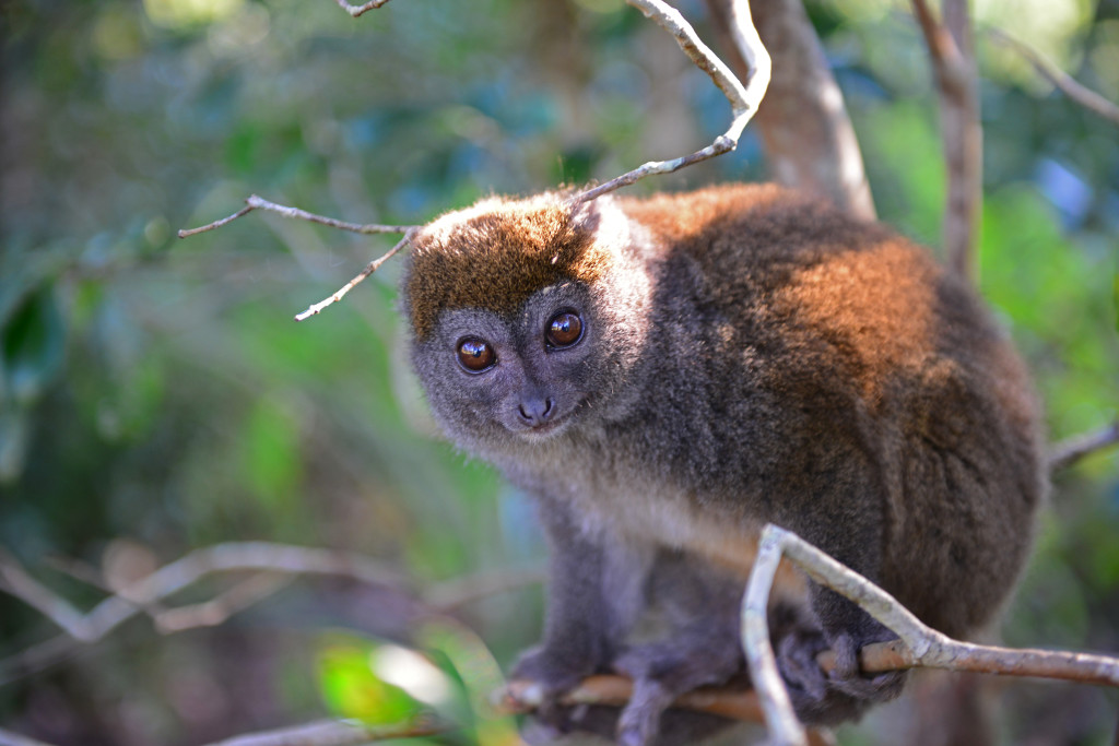 A grey bamboo lemur at Andasibe National Park. © WWF-US/Rachel Kramer