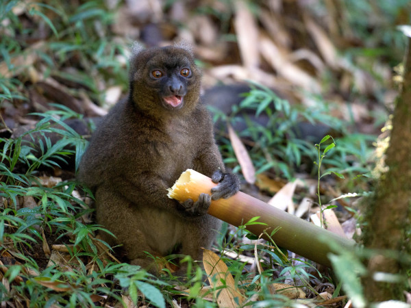 critically endangered greater bamboo lemur
