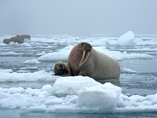 The Arctic could be entirely ice-free in the summer months by the 2030s, with profound effects for wildlife. Since 2000, the forced migration of walruses and their young to barrier islands has become an increasingly regular occurrence. Last year in Alaska, as many as 40,000 walruses were forced ashore. ©Sarah Sonsthagen, USGS
