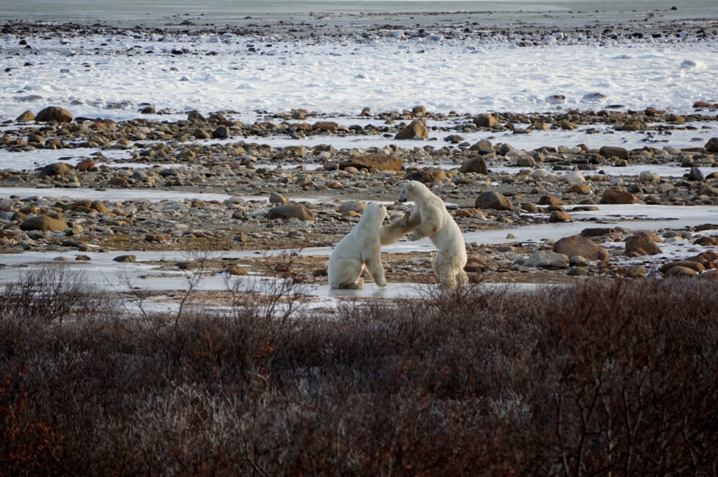 Sparring polar bears in Churchill, Canada, waiting for the ice to freeze over as the winter approaches. © WWF-US/Nikhil Advani