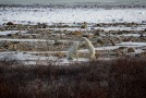 Polar bears, ice and climate change