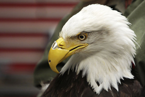 Among the best-known animals to benefit from technology is Beauty the bald eagle. She lost the upper portion of her beak after a hunter shot it off. She was later fitted with a nylon-composite replacement. ©Young Kwak/AP
